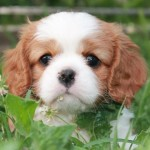 Femmine Cavalier King