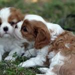 Arrivo del cucciolo di Cavalier a casa